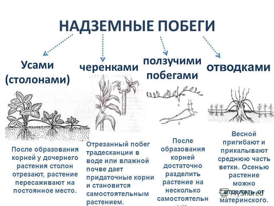 НАДЗЕМНЫЕ ПОБЕГИ Усами (столонами) ползучими побегами черенками После образования корней у дочернего растения столон отрезают, растение пересаживают на постоянное место. Отрезанный побег традесканции в воде или влажной почве дает придаточные корни и
