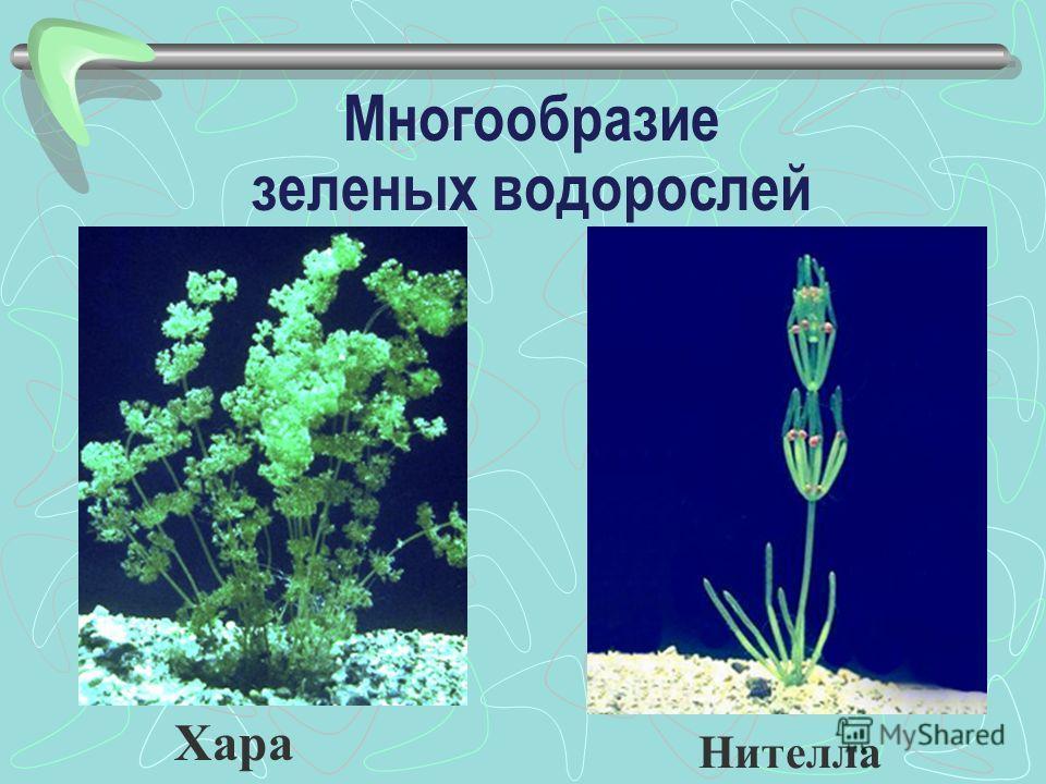 Хара Нителла Многообразие зеленых водорослей
