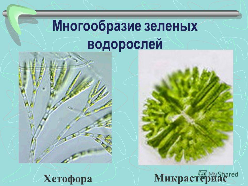 Микрастериас Многообразие зеленых водорослей Хетофора