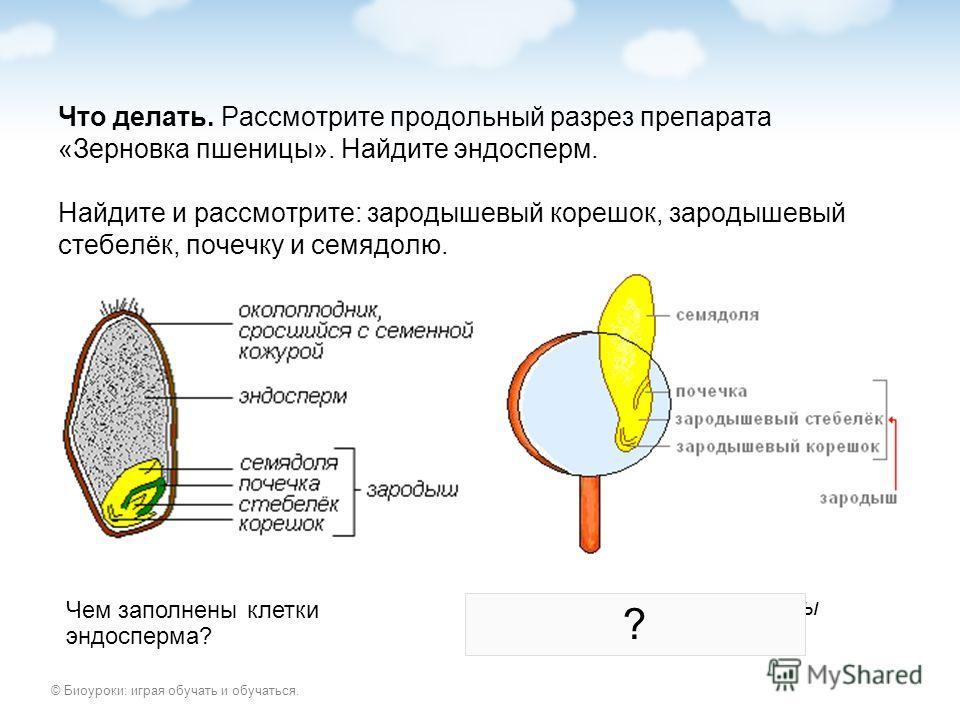 © Биоуроки: играя обучать и обучаться. Что делать. Рассмотрите продольный разрез препарата «Зерновка пшеницы». Найдите эндосперм. Найдите и рассмотрите: зародышевый корешок, зародышевый стебелёк, почечку и семядолю. Чем заполнены клетки эндосперма? К