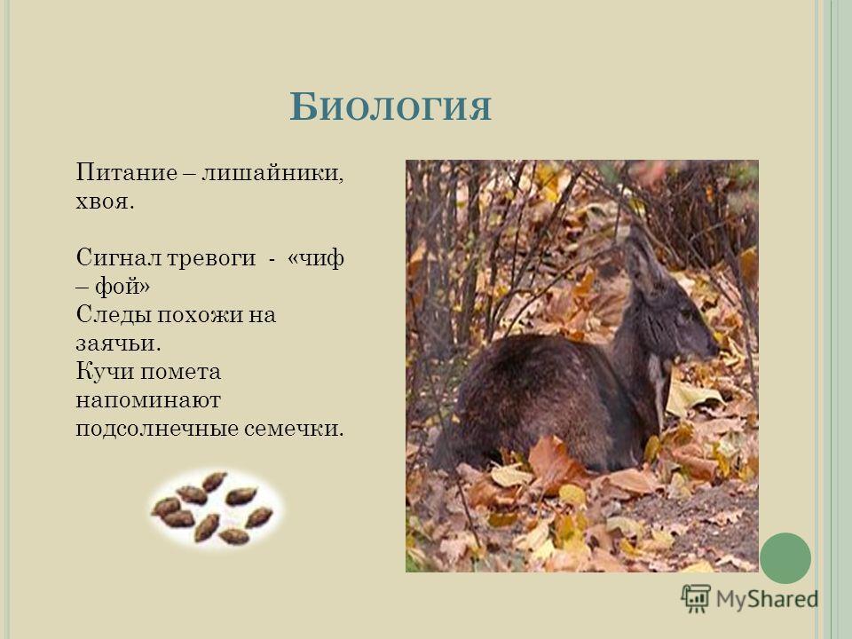 Б ИОЛОГИЯ Питание – лишайники, хвоя. Сигнал тревоги - «чиф – фой» Следы похожи на заячьи. Кучи помета напоминают подсолнечные семечки.