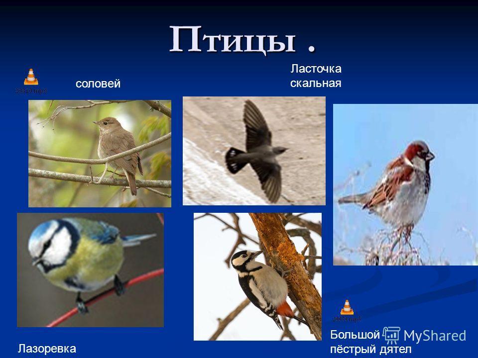 Птицы. Ласточка скальная соловей Лазоревка Большой пёстрый дятел