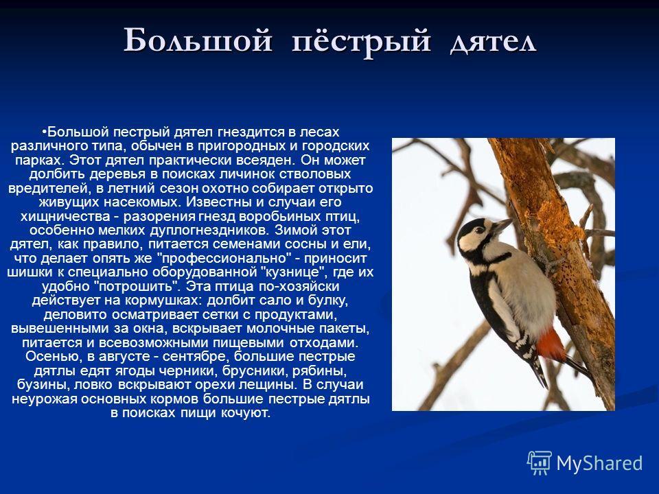 Большой пёстрый дятел Большой пестрый дятел гнездится в лесах различного типа, обычен в пригородных и городских парках. Этот дятел практически всеяден. Он может долбить деревья в поисках личинок стволовых вредителей, в летний сезон охотно собирает от