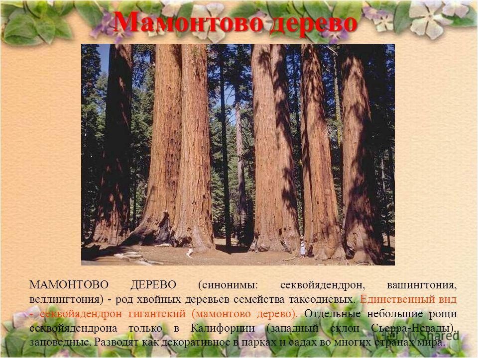 Мамонтово дерево МАМОНТОВО ДЕРЕВО (синонимы: секвойядендрон, вашингтония, веллингтония) - род хвойных деревьев семейства таксодиевых. Единственный вид - секвойядендрон гигантский (мамонтово дерево). Отдельные небольшие рощи секвойядендрона только в К