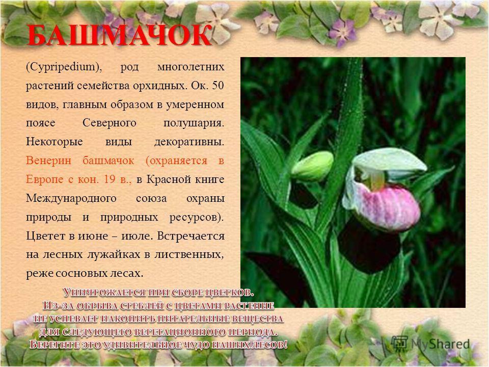 БАШМАЧОК БАШМАЧОК (Cypripedium), род многолетних растений семейства орхидных. Ок. 50 видов, главным образом в умеренном поясе Северного полушария. Некоторые виды декоративны. Венерин башмачок (охраняется в Европе с кон. 19 в., в Красной книге Междуна