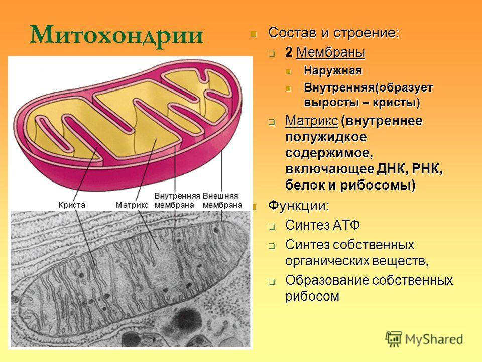 Митохондрии Состав и строение: Состав и строение: Мембраны 2 Мембраны Наружная Наружная Внутренняя(образует выросты – кристы) Внутренняя(образует выросты – кристы) Матрикс (внутреннее полужидкое содержимое, включающее ДНК, РНК, белок и рибосомы) Матр