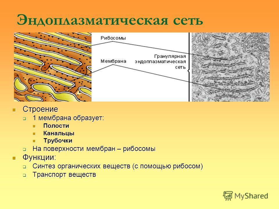Эндоплазматическая сеть Строение Строение 1 мембрана образует: 1 мембрана образует: Полости Полости Канальцы Канальцы Трубочки Трубочки На поверхности мембран – рибосомы На поверхности мембран – рибосомы Функции: Функции: Синтез органических веществ
