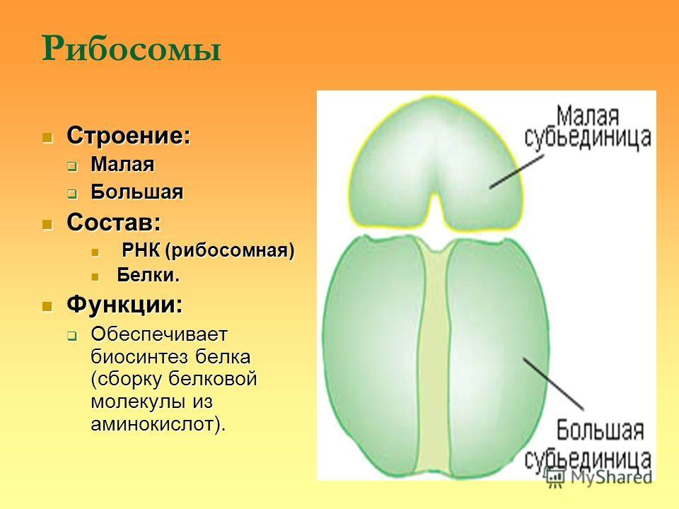Рибосомы Строение: Строение: Малая Малая Большая Большая Состав: Состав: РНК (рибосомная) РНК (рибосомная) Белки. Белки. Функции: Функции: Обеспечивает биосинтез белка (сборку белковой молекулы из аминокислот). Обеспечивает биосинтез белка (сборку бе