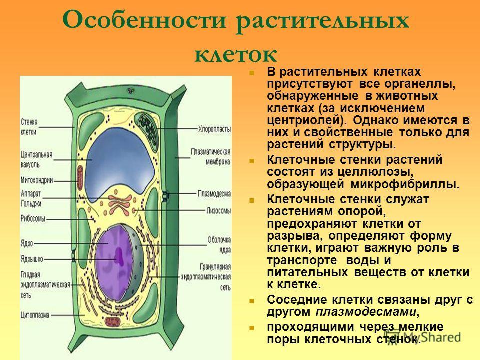Особенности растительных клеток В растительных клетках присутствуют все органеллы, обнаруженные в животных клетках (за исключением центриолей). Однако имеются в них и свойственные только для растений структуры. Клеточные стенки растений состоят из це