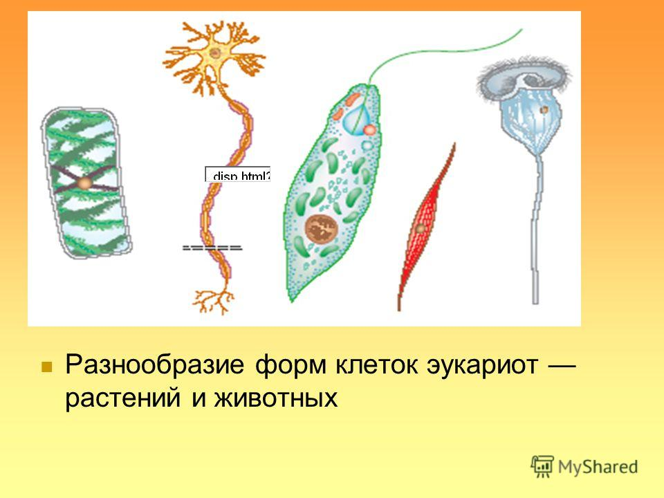 Разнообразие форм клеток эукариот растений и животных