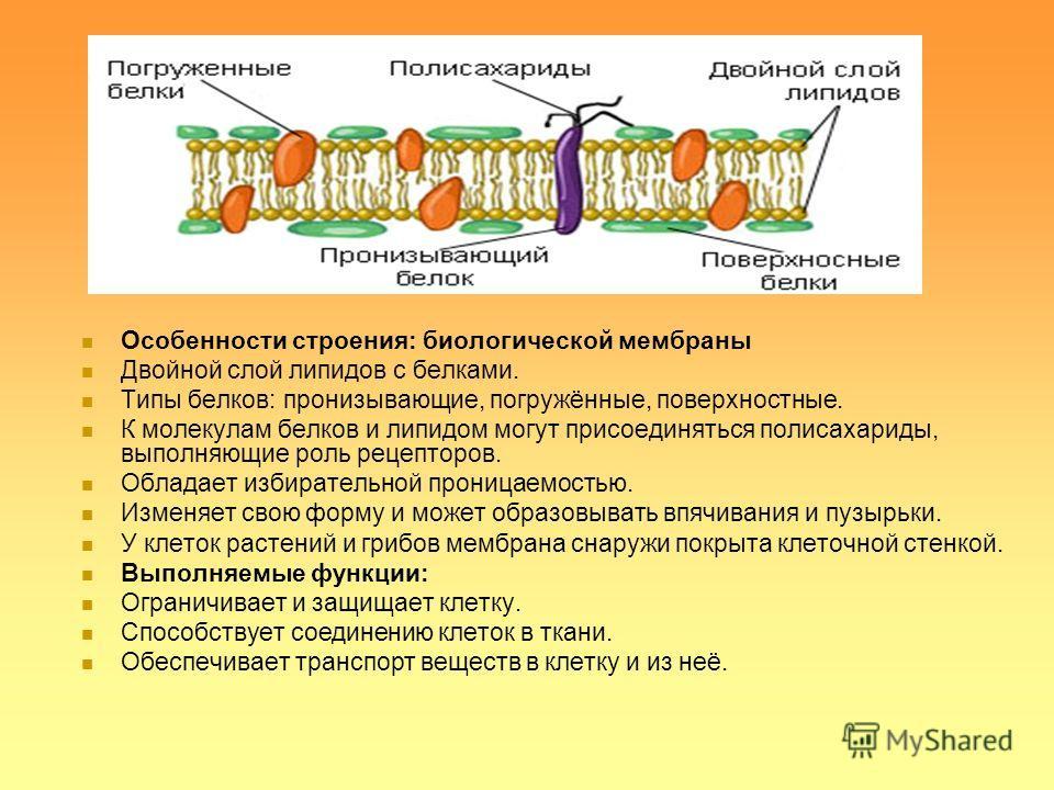 Особенности строения: биологической мембраны Двойной слой липидов с белками. Типы белков: пронизывающие, погружённые, поверхностные. К молекулам белков и липидом могут присоединяться полисахариды, выполняющие роль рецепторов. Обладает избирательной п
