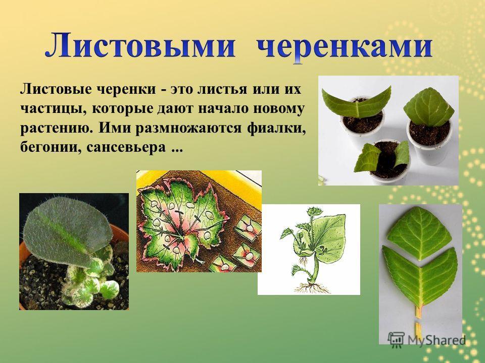 Листовые черенки - это листья или их частицы, которые дают начало новому растению. Ими размножаются фиалки, бегонии, сансевьера...