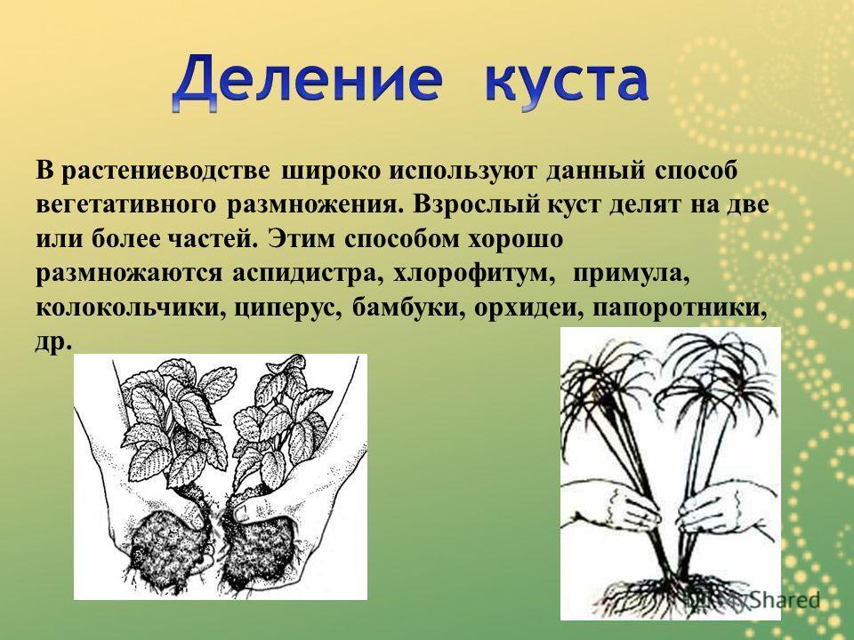 В растениеводстве широко используют данный способ вегетативного размножения. Взрослый куст делят на две или более частей. Этим способом хорошо размножаются аспидистра, хлорофитум, примула, колокольчики, циперус, бамбуки, орхидеи, папоротники, др.