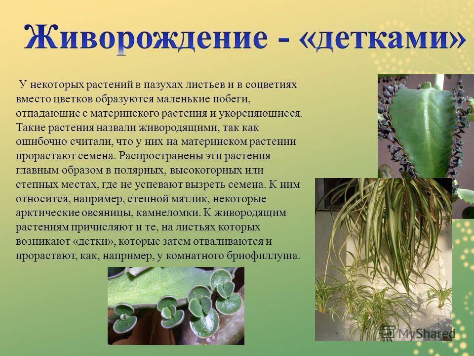 У некоторых растений в пазухах листьев и в соцветиях вместо цветков образуются маленькие побеги, отпадающие с материнского растения и укореняющиеся. Такие растения назвали живородящими, так как ошибочно считали, что у них на материнском растении прор