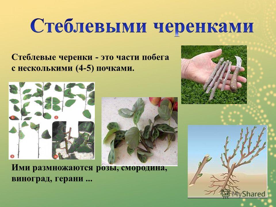 Стеблевые черенки - это части побега с несколькими (4-5) почками. Ими размножаются розы, смородина, виноград, герани...
