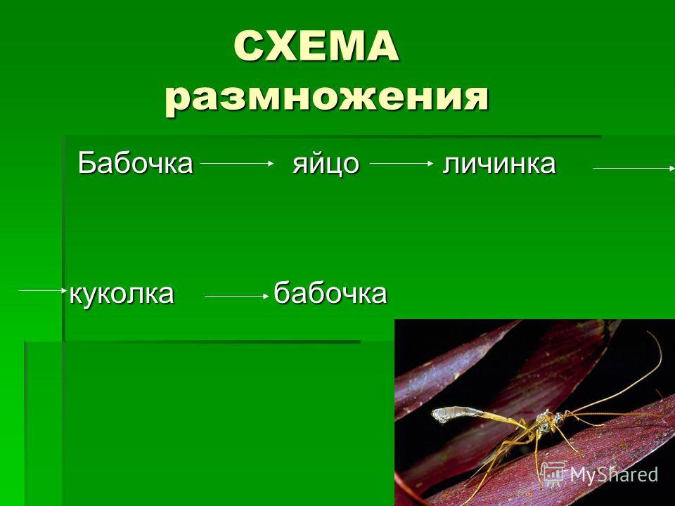СХЕМА размножения СХЕМА размножения Бабочка яйцо личинка Бабочка яйцо личинка куколка бабочка