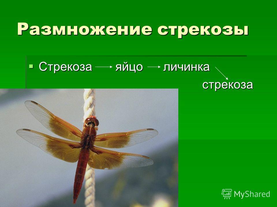 Размножение стрекозы Стрекоза яйцо личинка Стрекоза яйцо личинка стрекоза стрекоза