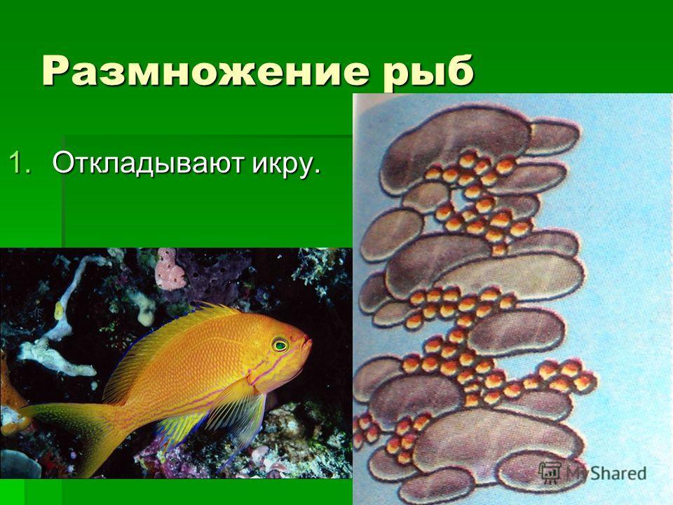 Размножение рыб 1.Откладывают икру.