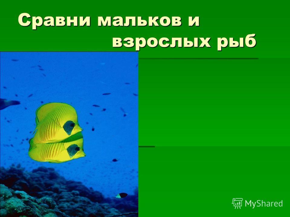 Сравни мальков и взрослых рыб