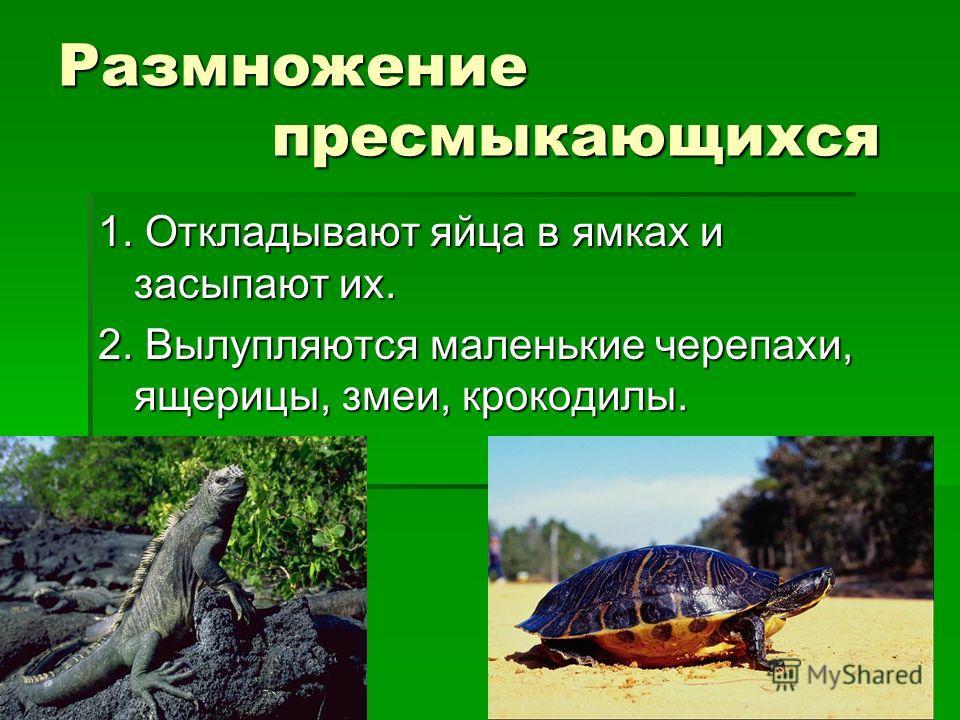 Размножение пресмыкающихся 1. Откладывают яйца в ямках и засыпают их. 2. Вылупляются маленькие черепахи, ящерицы, змеи, крокодилы.