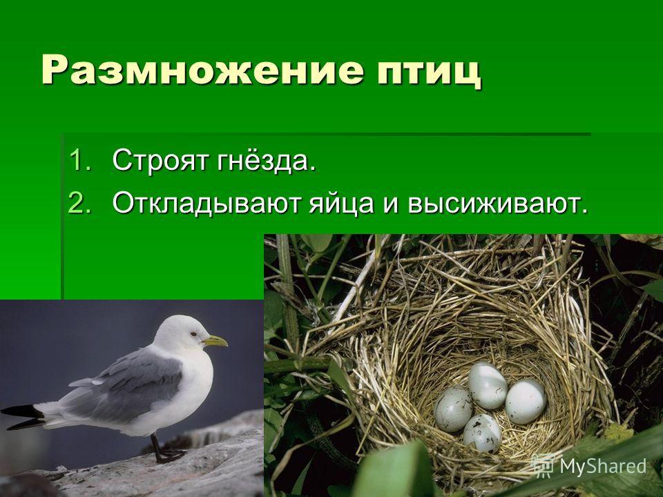 Размножение птиц 1.Строят гнёзда. 2.Откладывают яйца и высиживают.