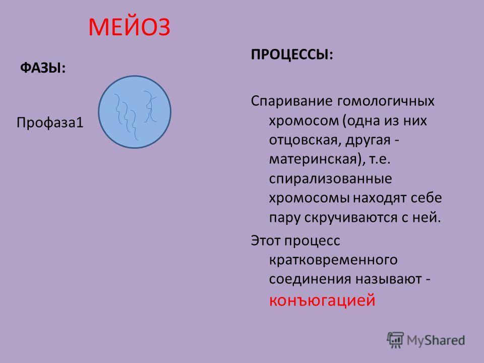МЕЙОЗ ФАЗЫ: Профаза1 ПРОЦЕССЫ: Спаривание гомологичных хромосом (одна из них отцовская, другая - материнская), т.е. спирализованные хромосомы находят себе пару скручиваются с ней. Этот процесс кратковременного соединения называют - конъюгацией