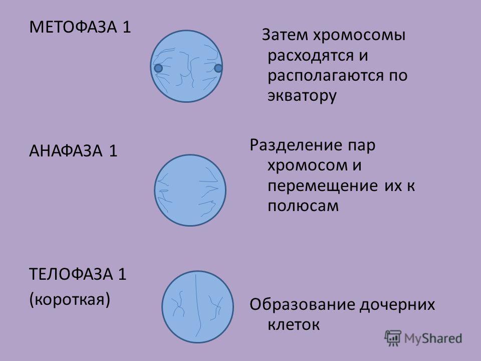МЕТОФАЗА 1 АНАФАЗА 1 ТЕЛОФАЗА 1 (короткая) Затем хромосомы расходятся и располагаются по экватору Разделение пар хромосом и перемещение их к полюсам Образование дочерних клеток