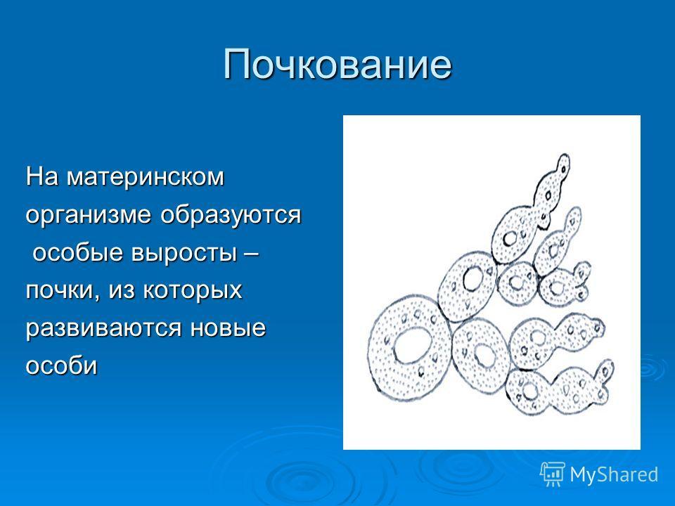 Почкование На материнском организме образуются особые выросты – особые выросты – почки, из которых развиваются новые особи
