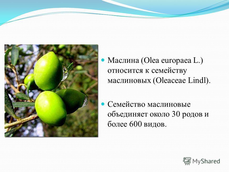 Маслина (Olea europaea L.) относится к семейству маслиновых (Oleaceae Lindl). Семейство маслиновые объединяет около 30 родов и более 600 видов.