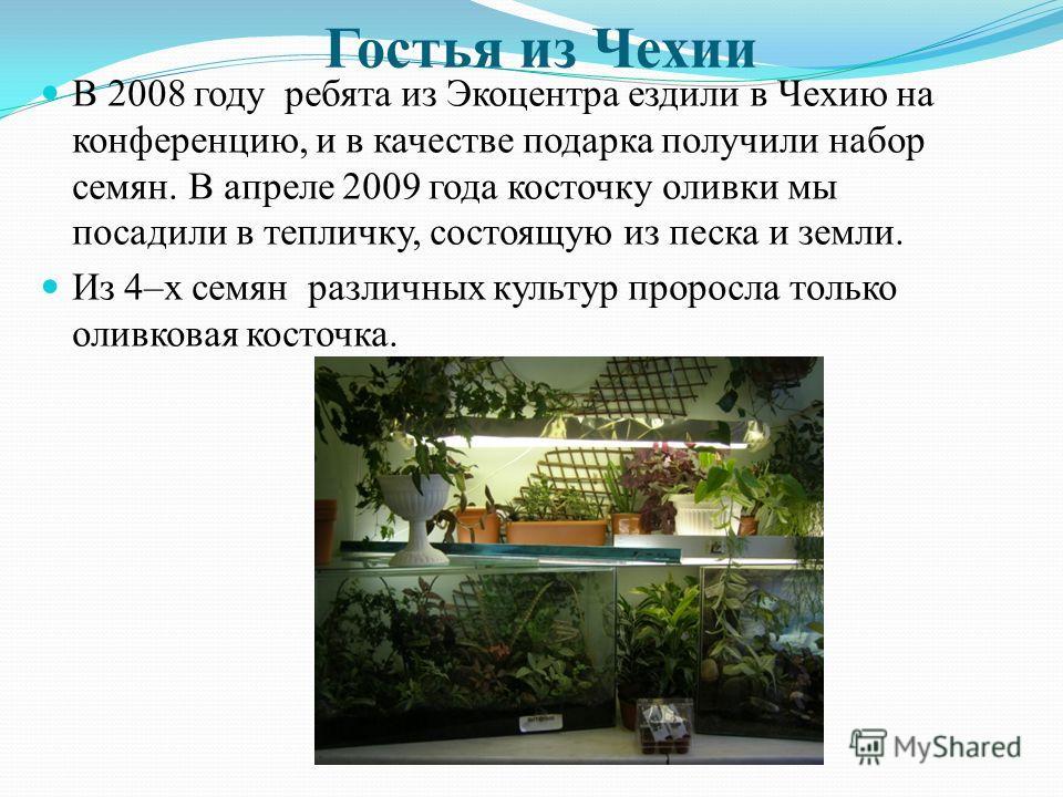 Гостья из Чехии В 2008 году ребята из Экоцентра ездили в Чехию на конференцию, и в качестве подарка получили набор семян. В апреле 2009 года косточку оливки мы посадили в тепличку, состоящую из песка и земли. Из 4–х семян различных культур проросла т