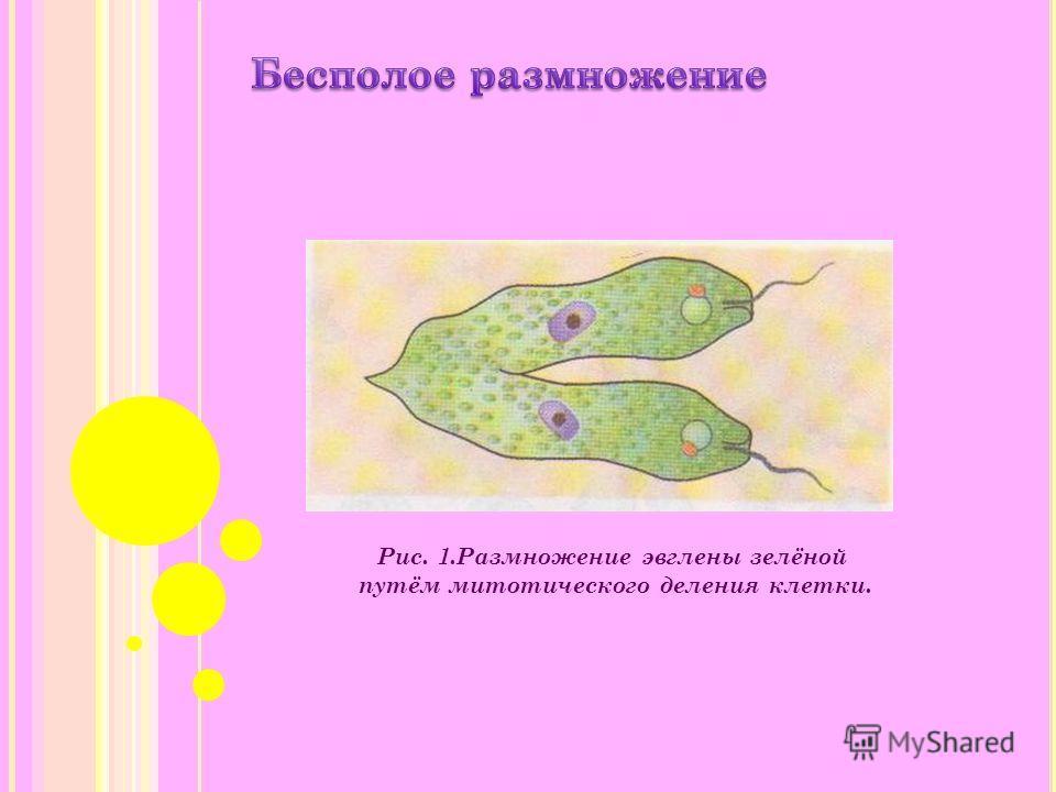Рис. 1.Размножение эвглены зелёной путём митотического деления клетки.