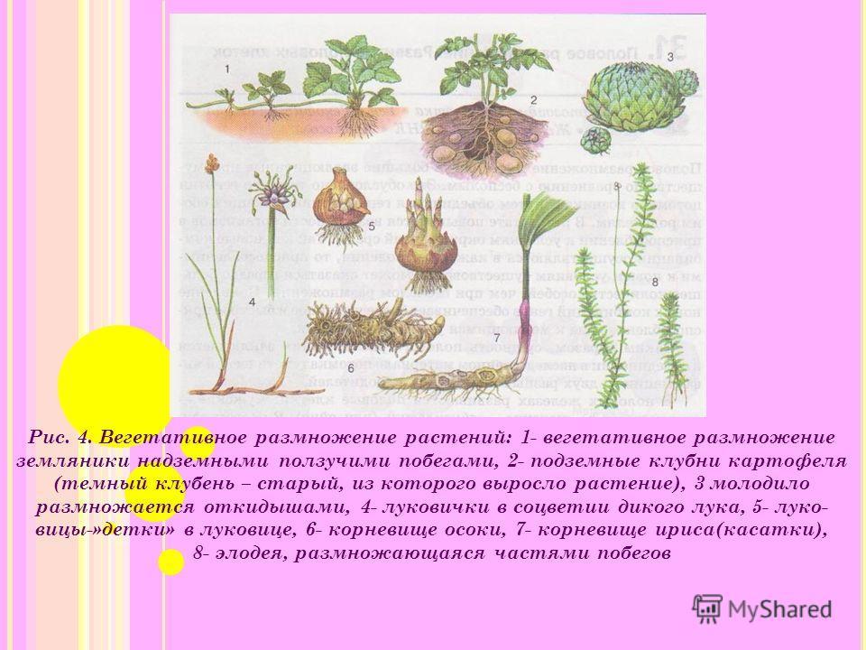 Рис. 4. Вегетативное размножение растений: 1- вегетативное размножение земляники надземными ползучими побегами, 2- подземные клубни картофеля (темный клубень – старый, из которого выросло растение), 3 молодило размножается откидышами, 4- луковички в