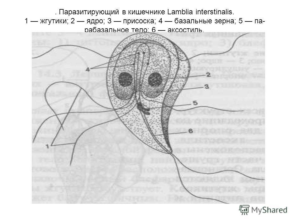. Паразитирующий в кишечнике Lamblia interstinalis. 1 жгутики; 2 ядро; 3 присоска; 4 базальные зерна; 5 па- рабазальное тело; 6 аксостиль.