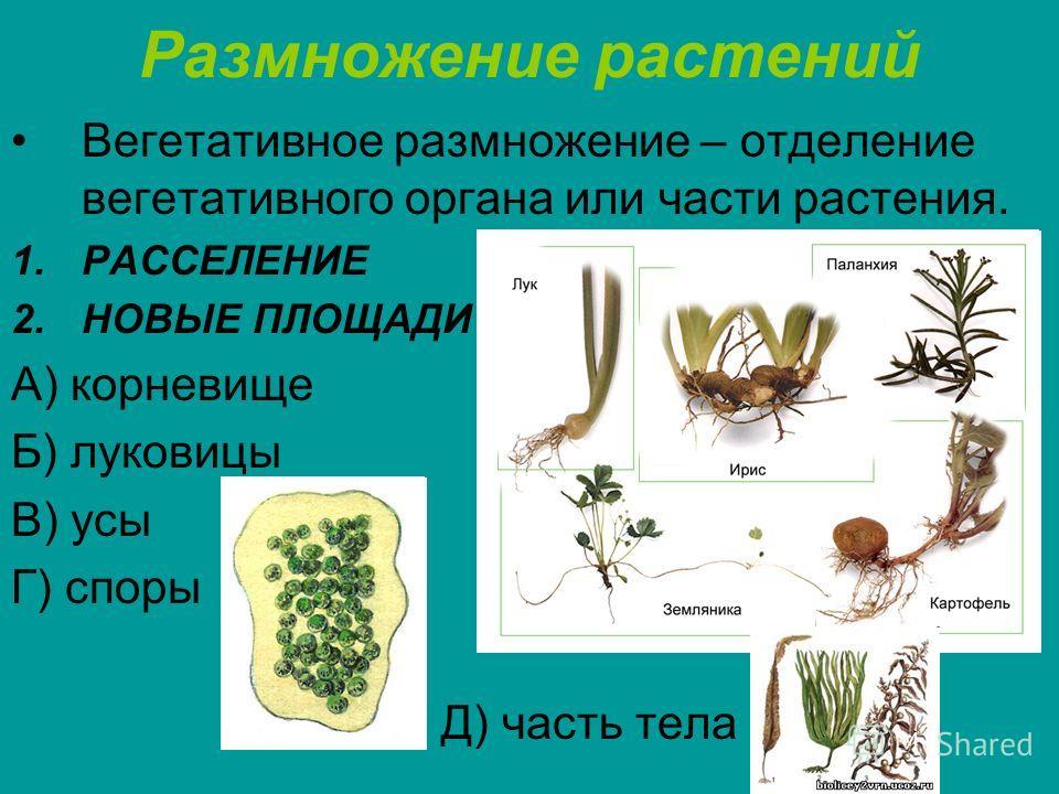 Размножение растений Вегетативное размножение – отделение вегетативного органа или части растения. 1.РАССЕЛЕНИЕ 2.НОВЫЕ ПЛОЩАДИ А) корневище Б) луковицы В) усы Г) споры Д) часть тела