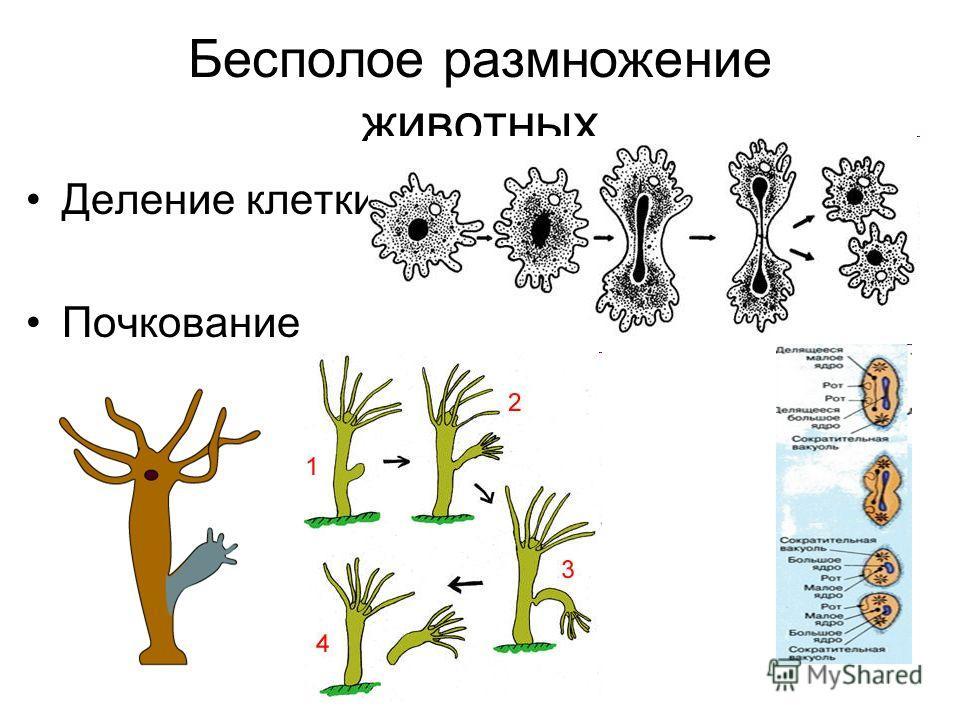 Бесполое размножение животных Деление клетки Почкование