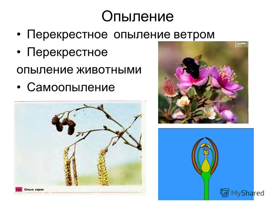 Опыление Перекрестное опыление ветром Перекрестное опыление животными Самоопыление