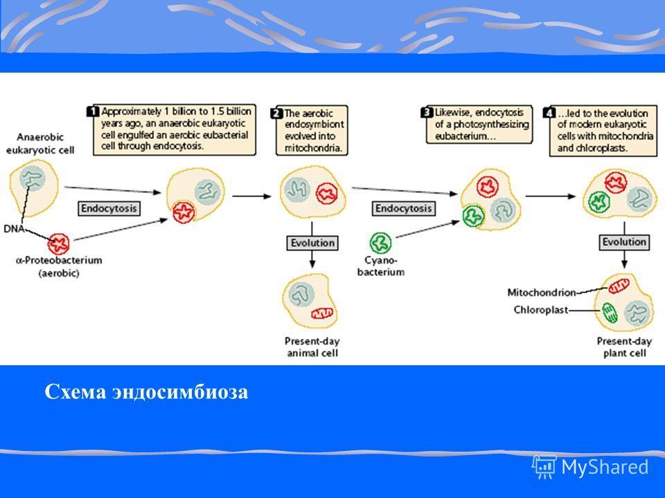 Схема эндосимбиоза