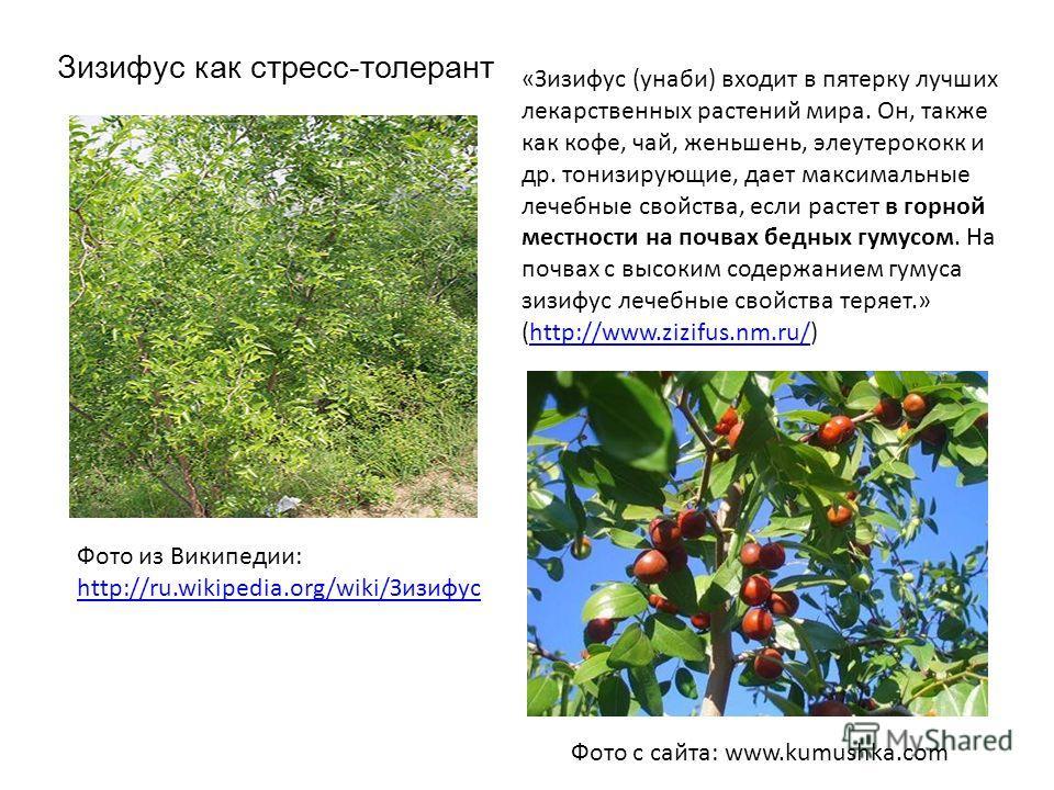 Фото с сайта: www.kumushka.com Зизифус как стресс-толерант Фото из Википедии: http://ru.wikipedia.org/wiki/Зизифус http://ru.wikipedia.org/wiki/Зизифус «Зизифус (унаби) входит в пятерку лучших лекарственных растений мира. Он, также как кофе, чай, жен