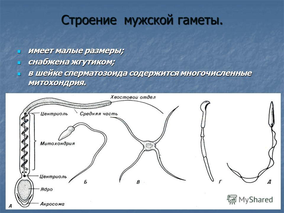 мужские гаметы спермии у-цм1