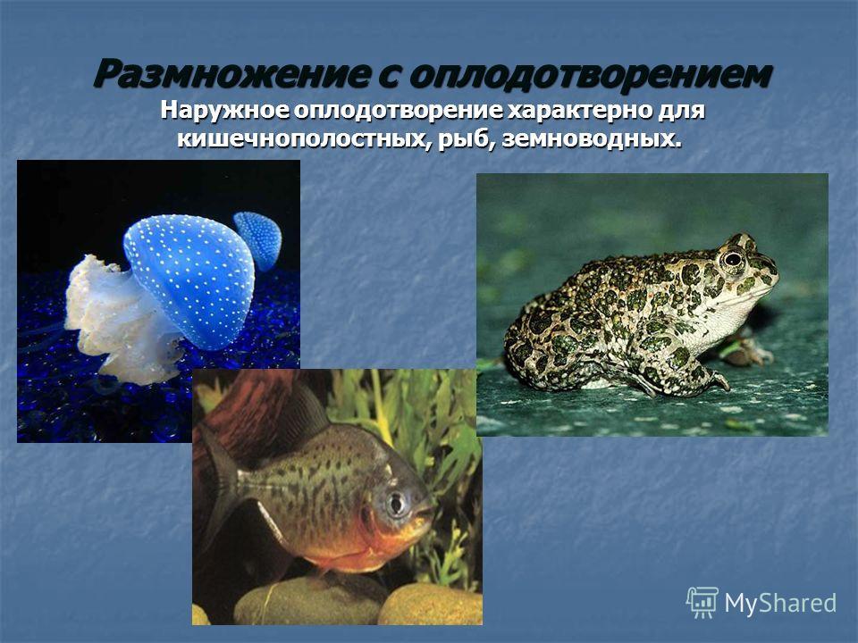 Размножение с оплодотворением Наружное оплодотворение характерно для кишечнополостных, рыб, земноводных.