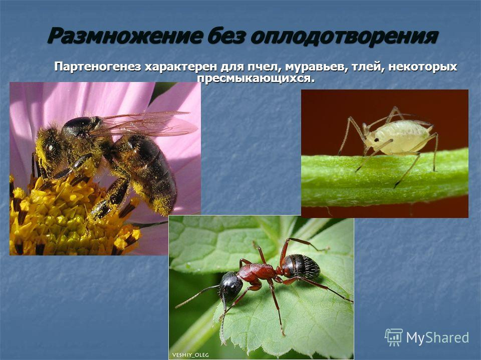 Размножение без оплодотворения Партеногенез характерен для пчел, муравьев, тлей, некоторых пресмыкающихся.