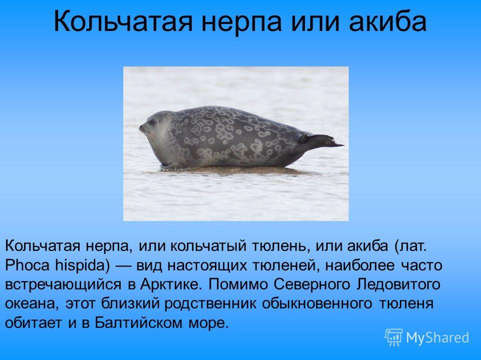 Кольчатая нерпа или акиба Кольчатая нерпа, или кольчатый тюлень, или акиба (лат. Phoca hispida) вид настоящих тюленей, наиболее часто встречающийся в Арктике. Помимо Северного Ледовитого океана, этот близкий родственник обыкновенного тюленя обитает и