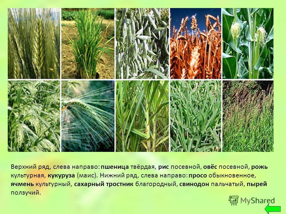 Верхний ряд, слева направо: пшеница твёрдая, рис посевной, овёс посевной, рожь культурная, кукуруза (маис). Нижний ряд, слева направо: просо обыкновенное, ячмень культурный, сахарный тростник благородный, свинодон пальчатый, пырей ползучий.