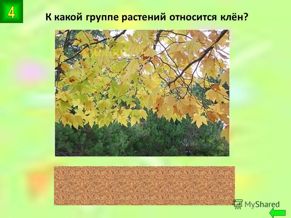 К какой группе растений относится клён? цветковые