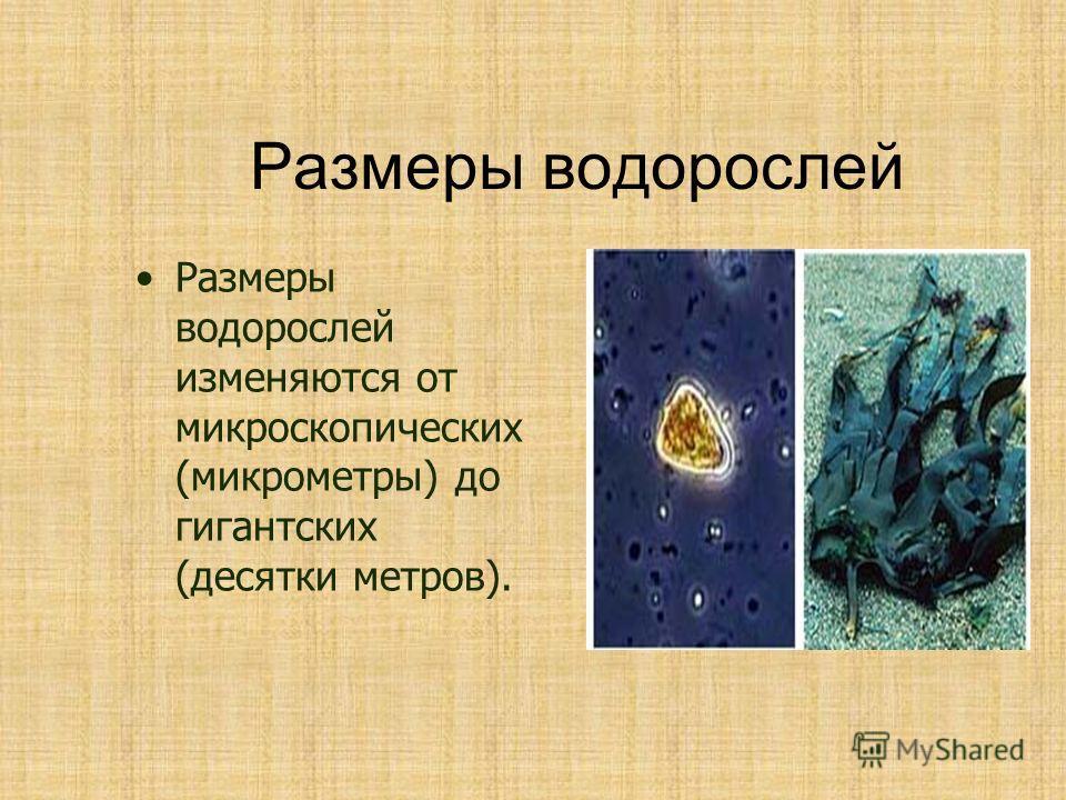 Размеры водорослей Размеры водорослей изменяются от микроскопических (микрометры) до гигантских (десятки метров).