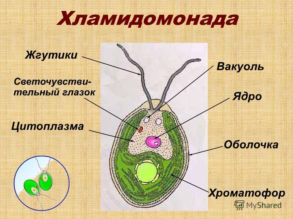 Хламидомонада Жгутики Ядро Хроматофор Светочувстви- тельный глазок Вакуоль Цитоплазма Оболочка