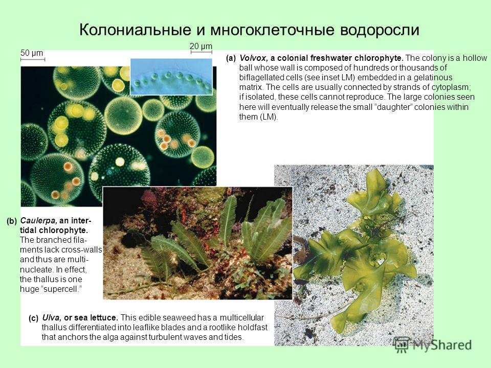 Колониальные и многоклеточные водоросли Volvox, a colonial freshwater chlorophyte. The colony is a hollow ball whose wall is composed of hundreds or thousands of biflagellated cells (see inset LM) embedded in a gelatinous matrix. The cells are usuall