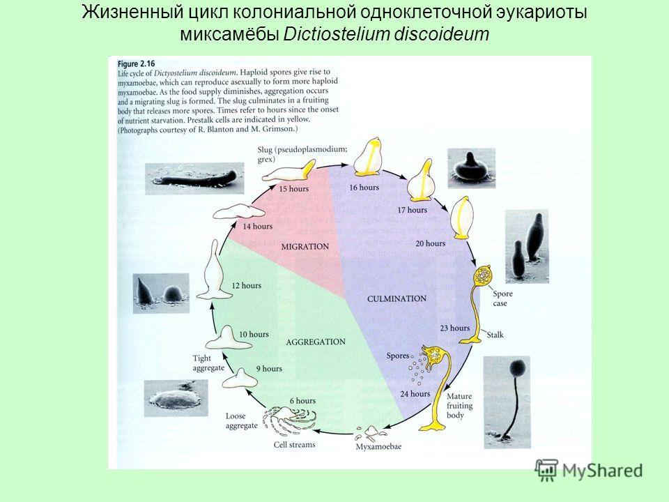 Жизненный цикл колониальной одноклеточной эукариоты миксамёбы Dictiostelium discoideum
