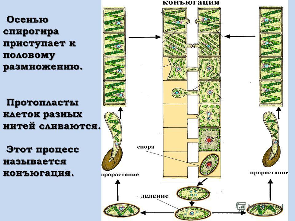 Осенью спирогира приступает к половому размножению. Осенью спирогира приступает к половому размножению. Протопласты клеток разных нитей сливаются. Протопласты клеток разных нитей сливаются. Этот процесс называется конъюгация. Этот процесс называется