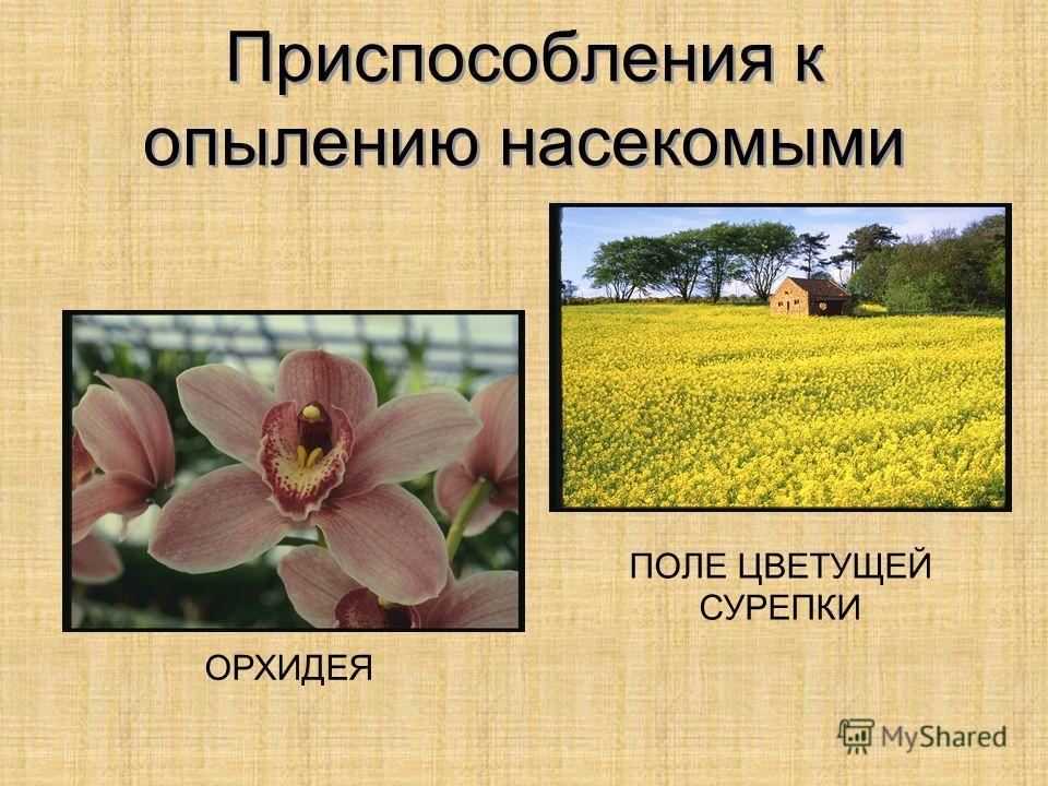 Приспособления к опылению насекомыми ПОЛЕ ЦВЕТУЩЕЙ СУРЕПКИ ОРХИДЕЯ